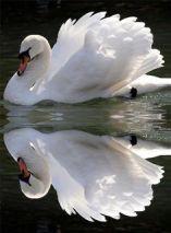 Cecilia Field - Swan