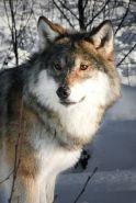 David Simmons - Wolf