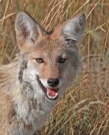 Marco Endrizzi - Coyote